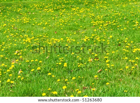fresh spring green grass meadow with  yellow  dandelion flowers - stock photo