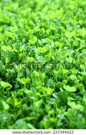 Fresh sprouts of garden cress - stock photo