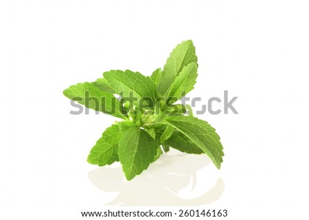 fresh stevia sweetener herb in pure white background - stock photo