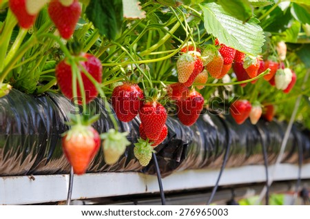 Fresh strawberries that are grown in greenhouses - stock photo