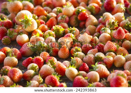 Fresh Strawberry from the field. - stock photo