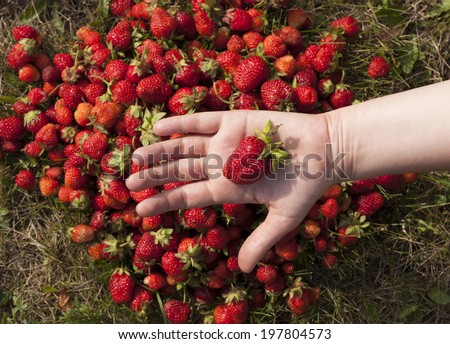 Fresh Strawberry fruit berry in the hand background photo texture - stock photo
