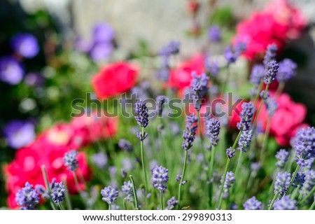 Fresh summer lavender growing in a rose filled garden - stock photo