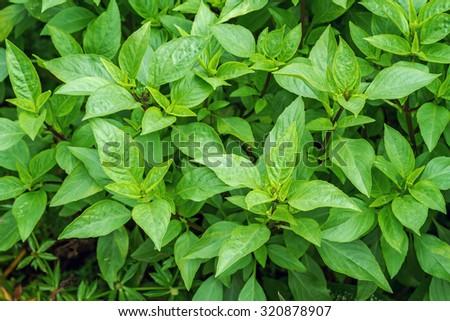 Fresh sweet basil plants at an organic vegetable garden - stock photo
