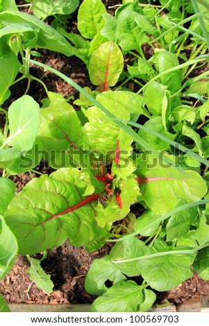 Fresh swiss chard growing in a bed of leafy greens. - stock photo