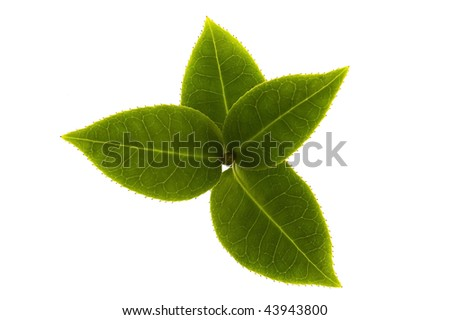 fresh tea branch isolated on the white background - stock photo