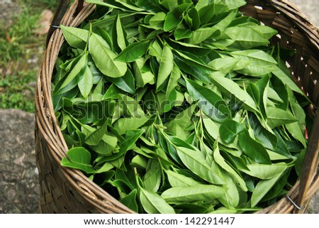 Fresh tea leaves are collected in baskets for further processing. - stock photo