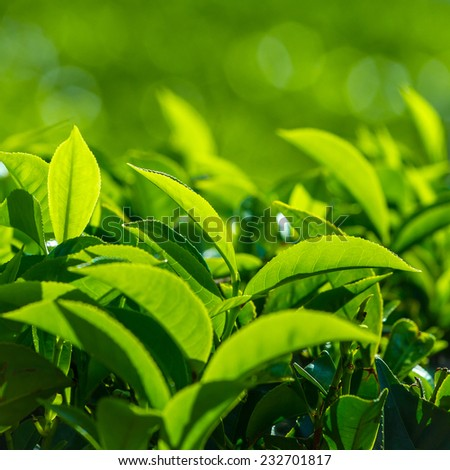 Fresh tea leaves closeup - stock photo