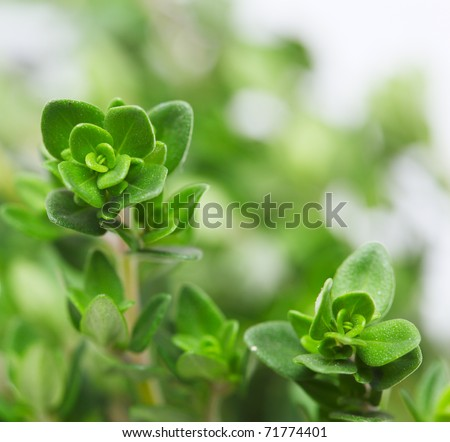 Fresh thyme, close-up - stock photo