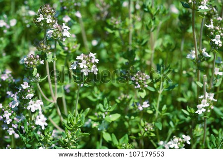 Fresh thyme herbs -thymus vulgaris - growing in garden - stock photo