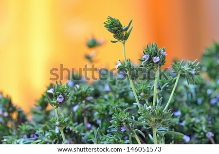 Fresh Thyme shoot in garden in summer time - stock photo