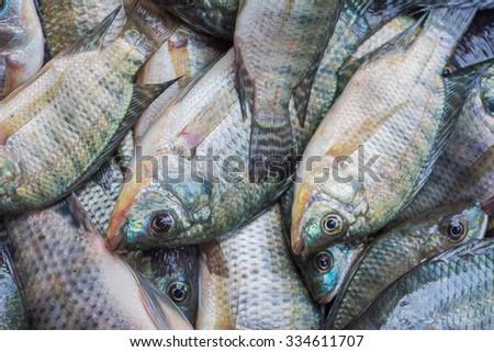 fresh Tilapia in floating basket - stock photo