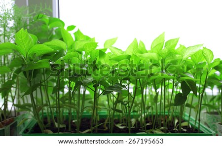 fresh tomato seedlings on the windowsill - stock photo