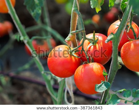 Fresh tomatoes in daylight. - stock photo