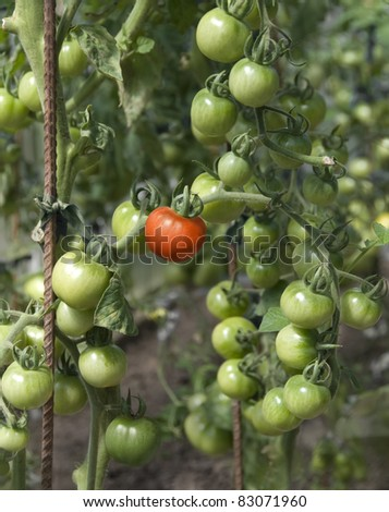 fresh tomatoes in greenhouse (unripe green and one red) - stock photo