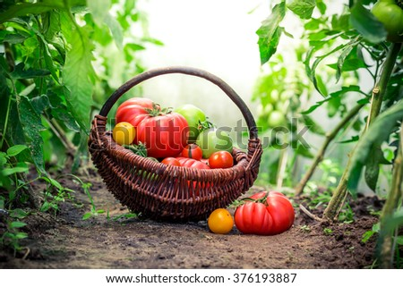 Fresh tomatoes on ground - stock photo
