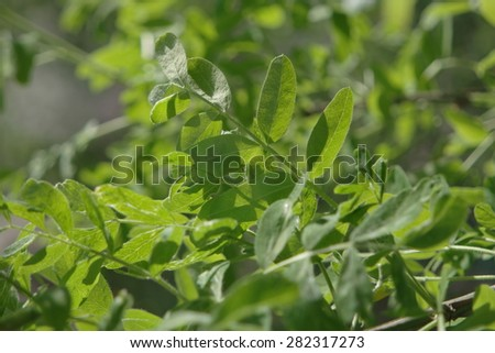 Fresh tree leaves. Spring or summer season. Vital plant grow in a sunny day. Good weather is good for vitality! - stock photo