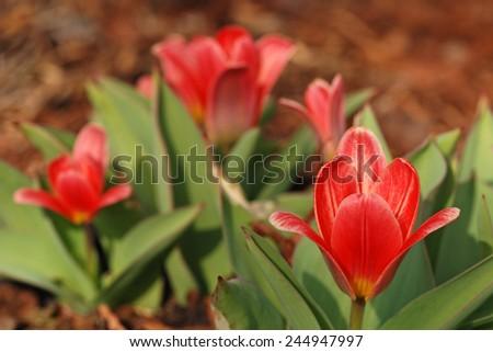 Fresh  tulips in garden - stock photo