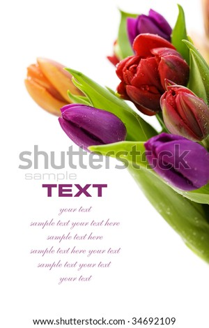 fresh tulips with water droplets on white background (with sample text) - stock photo