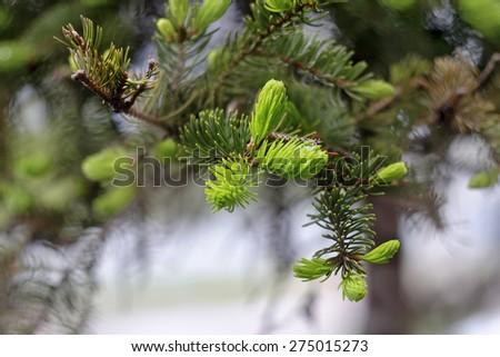 Fresh twigs of pine  macro image  - stock photo