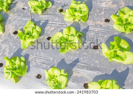 Fresh Vegetable Farming in Thailand - stock photo