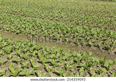 Fresh vegetables in farmland - stock photo