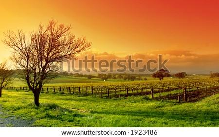 Fresh Vineyard Sunrise - stock photo