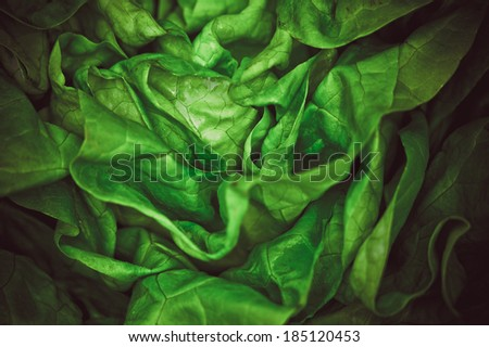 Fresh vivid green crispy wet healthy spring lettuce leaves close up, colored - stock photo