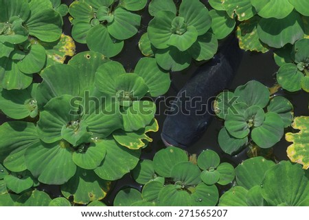Fresh Water Fish Surrounded by Aquatic Plants - stock photo