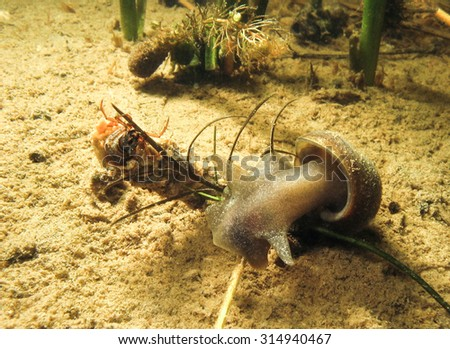 Fresh water slug or snail in a river or a lake. Underwater photo of water animal. - stock photo