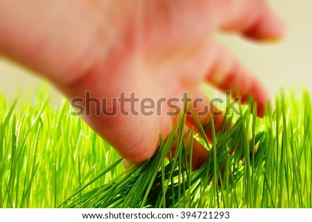 Fresh wheat grass feeling with the hand  - stock photo