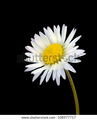 Fresh White common daisy flower isolated on black background - stock photo