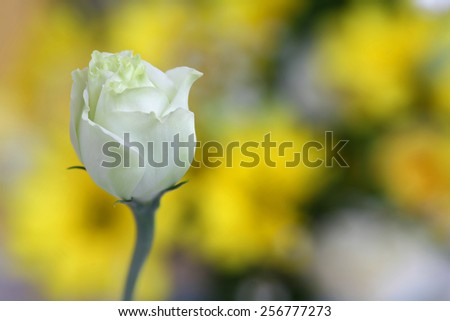 Fresh white rose beginning to bloom close-up with yellow bokeh background - stock photo