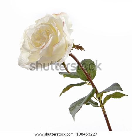 Fresh white roses on a white background - stock photo