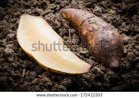 Fresh Yacon root cut off on the loose soil - stock photo