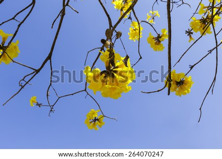 Fresh  yellow  color  of   Tabebuia  Chrysantha  Nicoles   spread   their  branch   to  create  beautiful  of  summer  background  with  clear  blue  sky. - stock photo