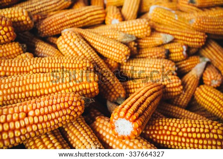 Fresh Yellow Corn Background. Harvest Agricultural Harvest Concept - stock photo