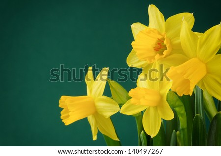 Fresh yellow daffodils on dark green background - stock photo