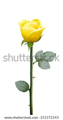 fresh yellow flower isolated on white background,, clipping path and alpha channel included. - stock photo