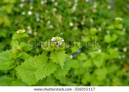 Fresh young leaves and flowers of nettle or Urtica dioica under sun closeup - stock photo