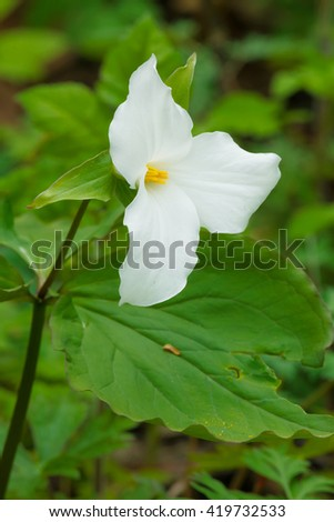 Freshly bloomed White Trillium wildflower on the forest floor. - stock photo