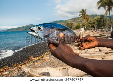 Freshly caught Albacore tuna on the hands of a local fisherman. Beach, sea and palm trees in the background. - stock photo