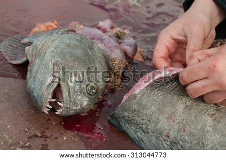 freshly caught catfish diveded into pieces - stock photo