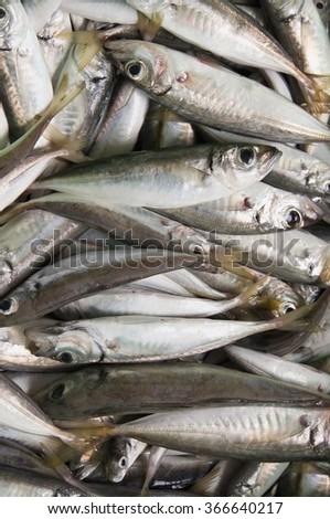 freshly caught raw fish mackerel - stock photo