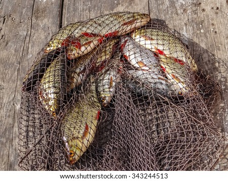 Freshly caught river rudd fishes on wooden background. Just caught rudd lying on fishing net. Common rudd (Scardinius erythropthalmus) - stock photo