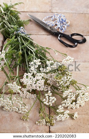 Freshly cut silver milfoil (Achillea Millfolium), a medicinal herb, is being prepared for drying - stock photo