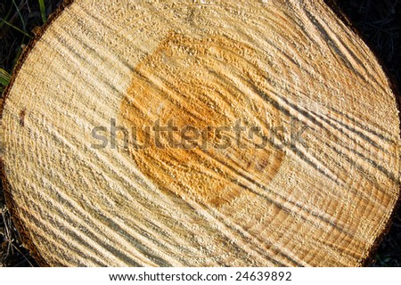 freshly cut tree stump - stock photo