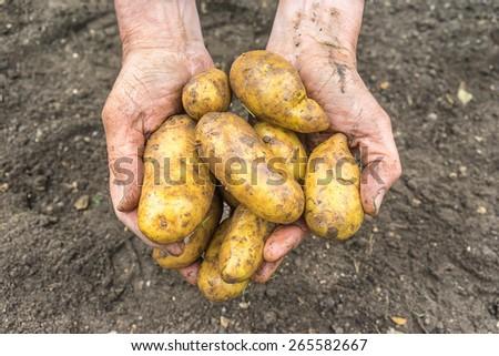Freshly dug new potatoes held by a man - stock photo