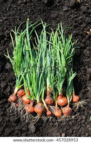 Freshly dug onion bulbs on the ground - stock photo