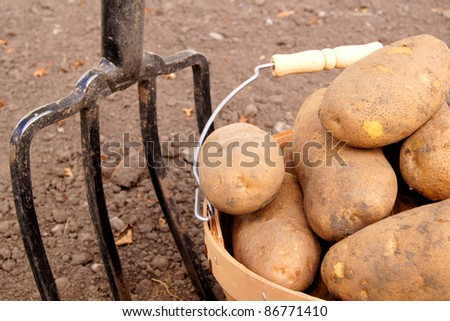 Freshly dug potatoes in a harvest pail with fork behind - stock photo